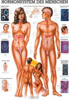 Anatomie Lehrtafeln - Hormonsystem