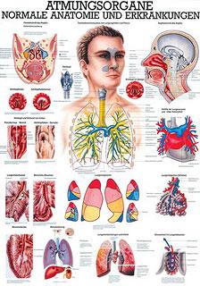 Anatomie Lehrtafeln - Die Atmungsorgane